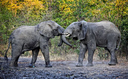 Free Fighting Elephants Royalty Free Stock Photography - 25878007