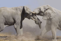 Fighting elephants Stock Photo