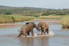 Fighting Elephants Royalty Free Stock Photography