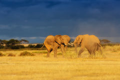 Fighting Elephants Royalty Free Stock Photo