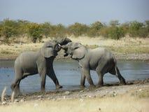Fighting Elephants. @ Etosha national park, Namibia royalty free stock photos
