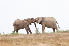 Fighting Elephants At Lake Stock Photos