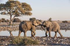 Fighting elephants Stock Images