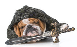 Fighting english bulldog Stock Photo