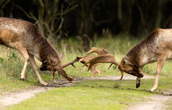 Fighting Fallow deer Stock Images