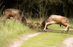 Fighting Fallow deer Royalty Free Stock Photography
