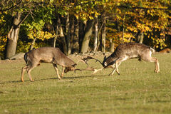 Fighting fallow deers in rut. With autumn wood in background Royalty Free Stock Images