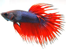 Fighting fish Stock Image