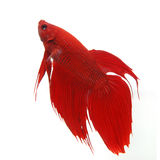 Fighting fish. Red Siamese fighting fish (Betta splendens) isolated on white background Stock Photography