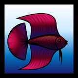 Fighting fish. A red Siamese fighting fish Royalty Free Stock Photos