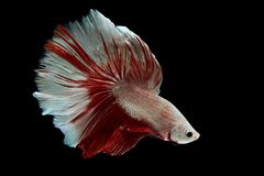 Siamese fighting fish. Fighting fish on balck background Royalty Free Stock Image
