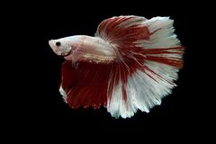 Siamese fighting fish. Fighting fish on balck background Royalty Free Stock Images