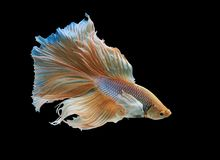Siamese fighting fish. Fighting fish on balck background Royalty Free Stock Photography
