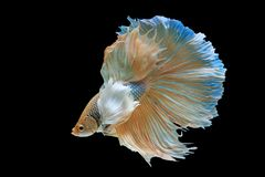Siamese fighting fish. Fighting fish on balck background Stock Image