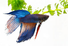 Fighting fish Royalty Free Stock Photography