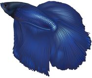 Fighting Fish Royalty Free Stock Image