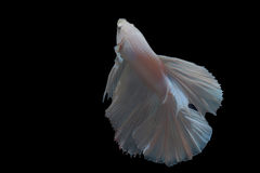 Fighting fish Royalty Free Stock Photo