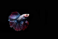 Fighting fish Stock Images