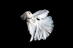 Fighting fish, betta on black background. Stock Photo