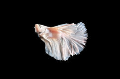 Fighting fish, betta on black background Stock Photos