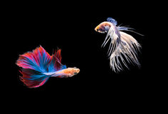 Fighting fish , betta isolated on black background. Two fighting fish , betta isolated on black background royalty free stock image