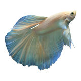 Fighting fish betta isolated white Royalty Free Stock Photos