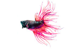 Fighting fish, betta  isolated on white Royalty Free Stock Photos