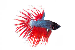 Fighting fish Stock Photography