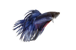 Fighting fish, betta on white background. Royalty Free Stock Photos
