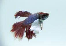 Fighting fish. Bite fish is slender, long and flat. The head is small Long buttocks to caudal fin Stock Image