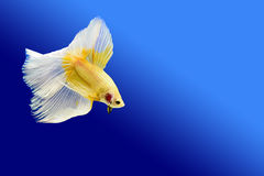 Fighting fish. The fighting fish on a blue background royalty free stock images