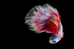 Fighting fish Stock Photos