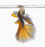 Fighting fish Stock Image