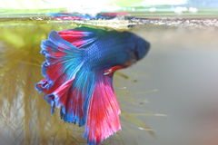 Fighting fish is creating Bubble nest. Royalty Free Stock Photo