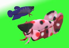 Fighting fish in 3D illustration. Fighting fish Beta sp. in 3D illustration, colored Asian fresh water aquarium fish Stock Photo