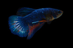 Fighting Fish in the Dark. Fighting Fish in the water to the dark Stock Photo