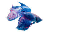 Fighting fish. Isolated on white background Royalty Free Stock Images