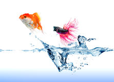 Fighting Fish jumping chase a goldfish. A Siamese Fighting Fish jumping chase a golden fish on white royalty free stock photography