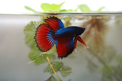 Fighting fish living in natural Stock Image