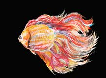Fighting fish paint on black has clipping paths. On isolate black background has clipping paths Royalty Free Stock Photo