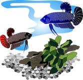 Fighting fish. Siamese fighting fish in Asia Stock Photos