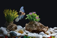 Fighting fish, Siamese fish, in a fish tank decorated with pebbles and trees, Black background.  royalty free stock photo