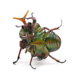 Fighting Flamboyant Flower Beetles Royalty Free Stock Image