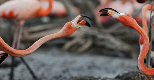 Fighting flamingos. Stock Photos