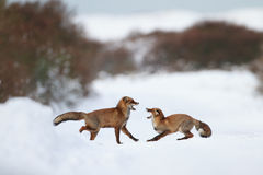 Fighting foxes. Two fighting foxes in the snow royalty free stock photos