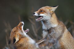 Fighting foxes Royalty Free Stock Photo
