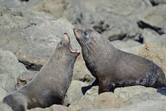 Fighting Fur Seals Stock Images