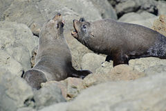 Fighting Fur Seals Royalty Free Stock Image