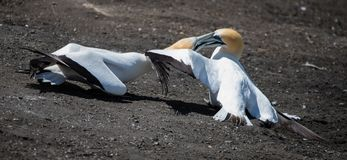 Fighting Gannets - 2 royalty free stock photos