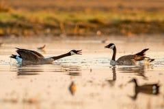 Fighting Geese Stock Photos